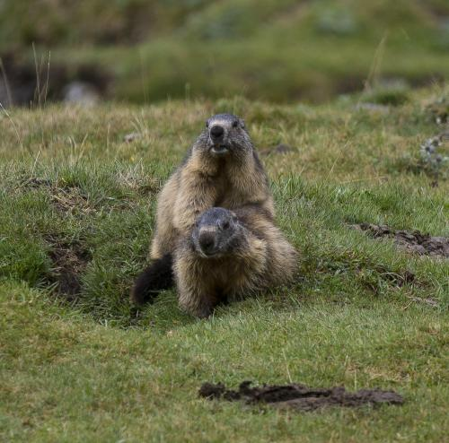 Marmottes 2